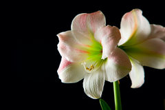 amaryllis-lily-10784476