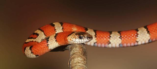 king-snake-502263_1280-1